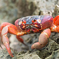 Red Crab, Christmas Island by Focus Far and Wide