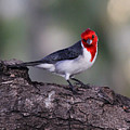 Red Crested Posing by Jennifer Robin
