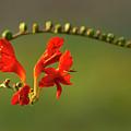 Red Crocosmia by Lara Ellis