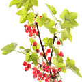 Red Currants by Julie Woodhouse