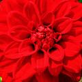 Red Dahlia by Alina Davis