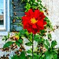 Red Dahlia By Window by Susan Savad
