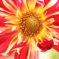 Red Dahlia Flower by Neil Overy