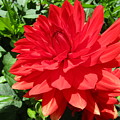 Red Dahlia In The Green by Rosita Larsson