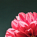 Red Dahlia by Karin Everhart
