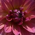 Red Dahlia Macro by Jeannie Rhode