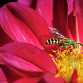 Red Dahlia With Wasp by Alida Thorpe