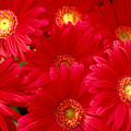 Red Daisies by Allan Seiden - Printscapes