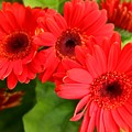 Red Daisies by Susan Lotterer
