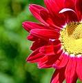 Red Daisy by Danielle Sigmon