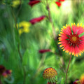 Red Daisy  by Saija  Lehtonen