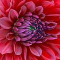 Red Dalia Up Close by James Steele