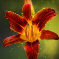 Red Daylily by Bill Tiepelman