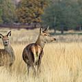 Red Deer 7 by Marcin Rogozinski