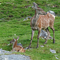 Red Deer Hind And Calf - July by Phil Banks