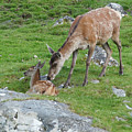 Red Deer Hind With Calf by Phil Banks