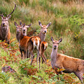 Red Deer In The Scottish Highlands by John McKinlay
