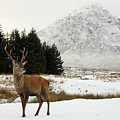 Red Deer Stag And The Buachaille Etive Mor In Winter by Maria Gaellman