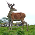 Red Deer Stag - Early July by Phil Banks