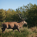 Red Deer Stag by Mickey At Rawshutterbug