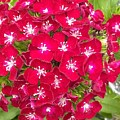 Red Dianthus by Gayle Miller