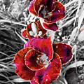 Red Double Lily by Jennifer Kohler