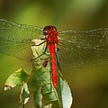 Red Dragon Fly by David Lane