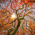 Red Dragon Japanese Maple In Autumn Colors by William Freebilly photography