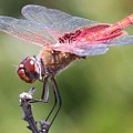 Red Dragonfly 1 by Gary Canant