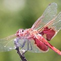 Red Dragonfly 5 by Gary Canant