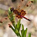 Red Dragonfly by Douglas Barnett