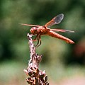 Red Dragonfly II by Dean Triolo