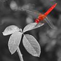 Red Dragonfly by Joe  Ng