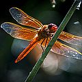 Red Dragonfly On Reed by Rich Governali
