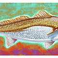 Red Drum by Kevin Putman