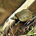Red-eared Slider by Alan Look