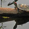 Red Eared Slider Turtle by Scott Hovind