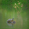 Red-eared Slider Turtle by Tam Ryan