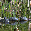 Red Eared Slider Turtles by Vivian Martin