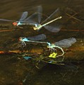 Red Eyed Damselflies Flying And Mating Party by Andre Bijkerk