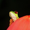 Red-eyed Tree-frog by Brian Magnier
