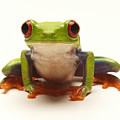 Red-eyed Tree Frog by Steve Williams