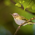 Red Eyeed Vireo - Magee Marsh, Ohio by Jack R Perry