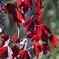 Red Fall Leaves In The Sun by Christiane Schulze Art And Photography