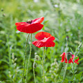 Red Field Poppies by Sophie McAulay
