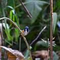 Red-flanked Bluetail 2 by David Hohmann