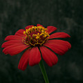 Red Flower 5 by Totto Ponce