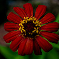 Red Flower 8 by Totto Ponce