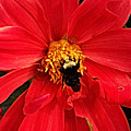 Red Flower And Bee by Anthony Jones