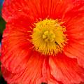 Red Flower by Anna Serebryanik